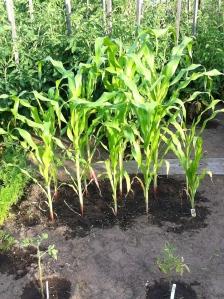 The corn is as high as an elephant's knee!