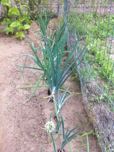 My first red onions!  Vole survivors!