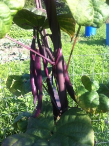 Purple beans that become regular green beens when cooked - so fake purple beans!
