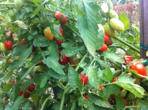 The top of the mountain of Juliet grape tomatoes!  Note to self - normal people only need one of these plants!
